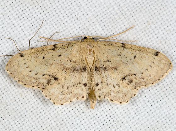 Single-dotted Wave Moth - Idaea dimidiata