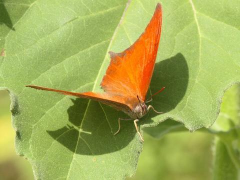 orange butterfly - Anaea andria - male