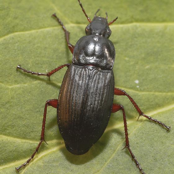 Carabidae - Calathus fuscipes