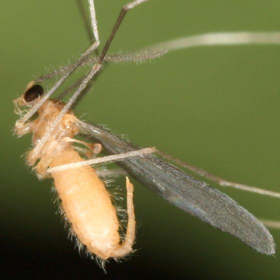 Midge/gnat hanging from spider web - Camptomyia - female
