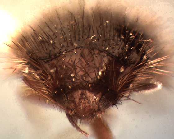 Apsectus araneorum