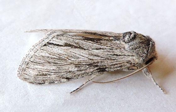 Arizona possible Notodontid - Cucullia eulepis