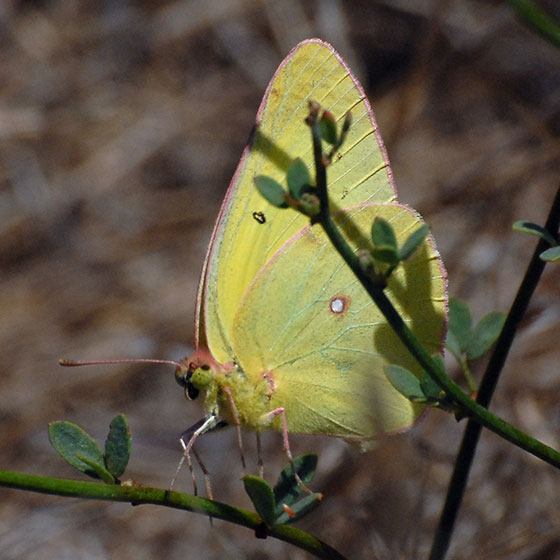 ID for a Sulfur #1? - Colias harfordii - male