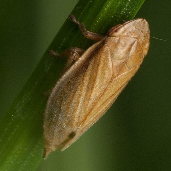 Brown Hopper - Neophilaenus lineatus