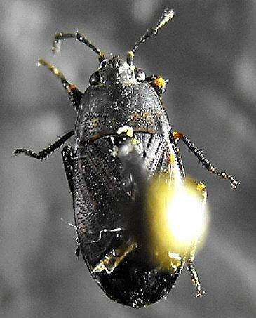 Unknown Heteropteran (2) - Trapezonotus