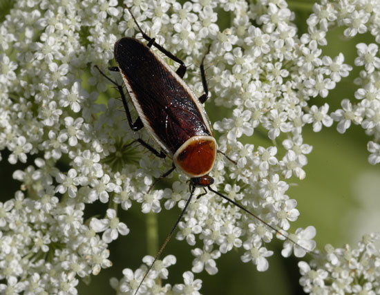 Pale Bordered Field Cockroach - Pseudomops septentrionalis