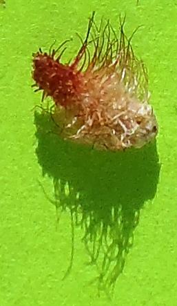 spiny galls on scrub oak leaf - Andricus sulfureus