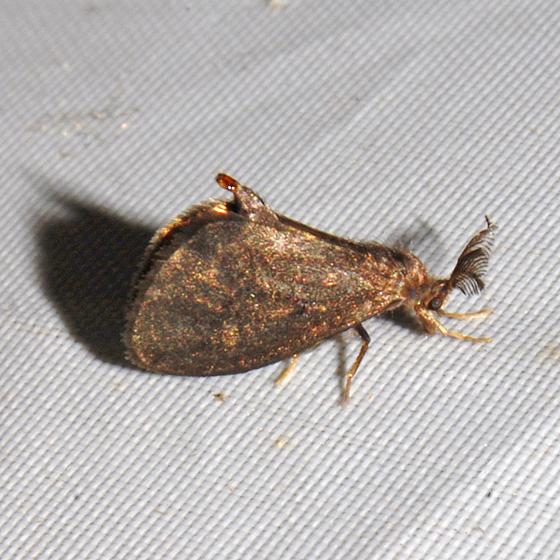 Bagworm Moth? - Cryptothelea