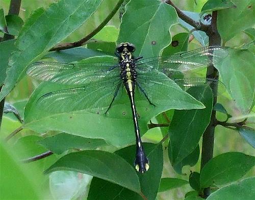 Cobra Clubtail - Gomphurus vastus - female