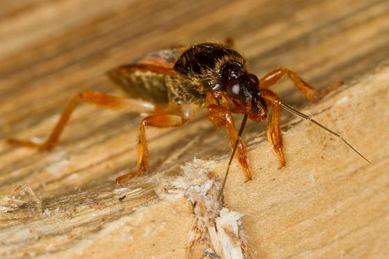 I think this is a bug... - Sirthenea carinata