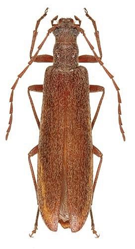 Idaho Unknown - Calopus angustus