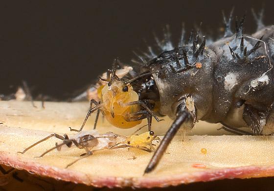 Eating Aphis nerii - Harmonia axyridis