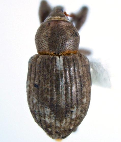 maybe-Onychylis par*vulus Burke - Onychylis parvulus
