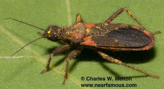 Assassin Bug? - Homalocoris erythrogaster