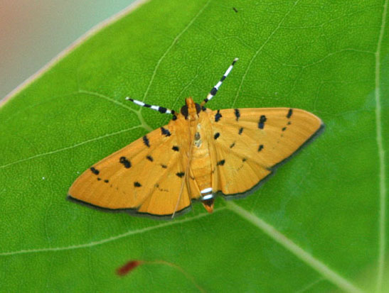Unknown Moth - Phaedropsis stictigramma