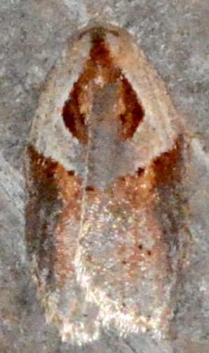 Stained-back Leafroller #1 - Acleris maculidorsana