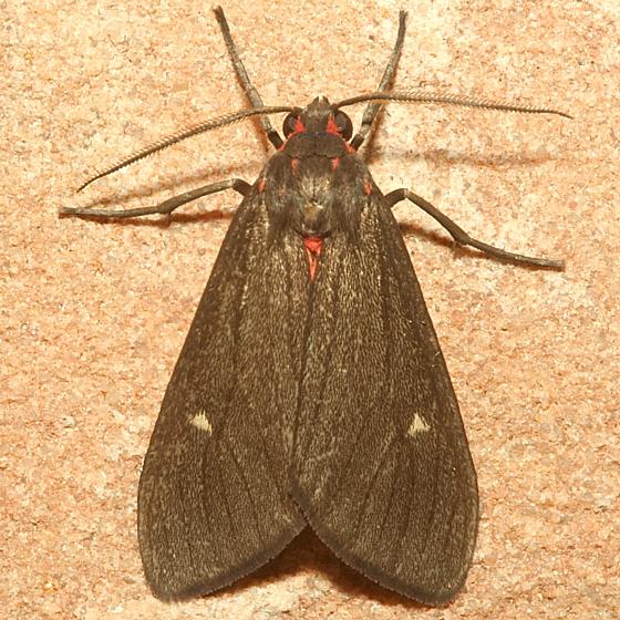 Moth - Euchaetes zella