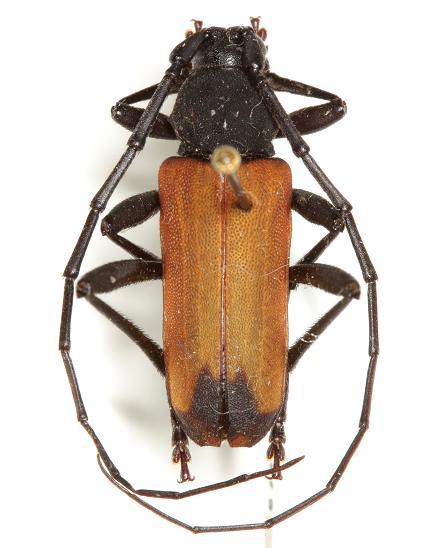 Purpuricenus opacus  (Knull) - Purpuricenus opacus - male
