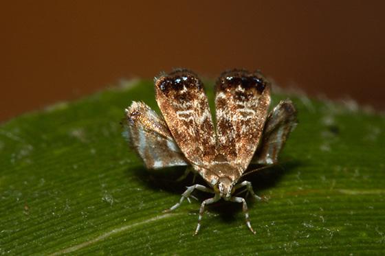 moth - Brenthia pavonacella