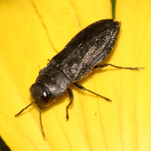 Wood-boring Beetle - Anthaxia inornata