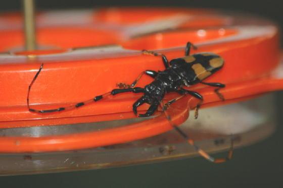 Big Black Bug - Dendrobias mandibularis