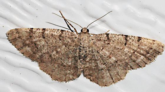 Moth to porch light - Aethalura intertexta