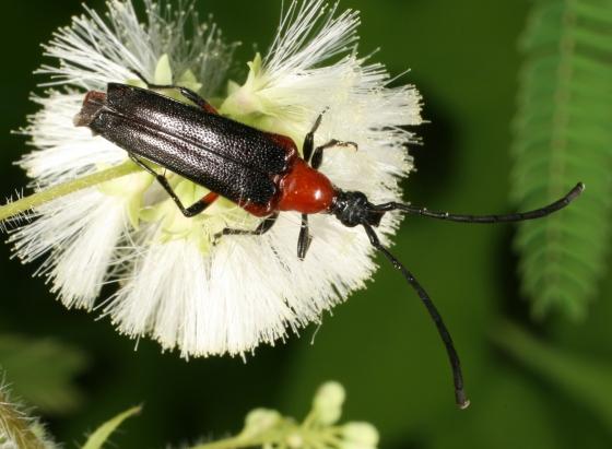 beetle 65 - Cyphonotida rostrata
