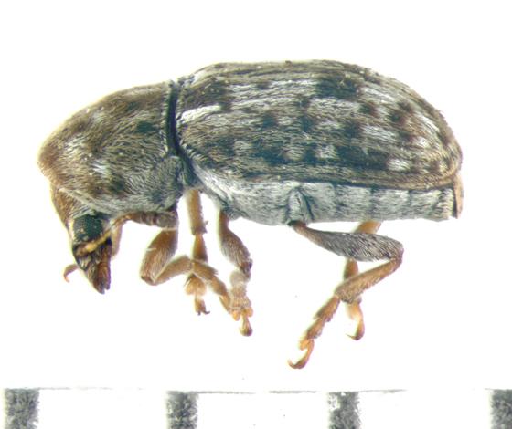 Anthribidae, lateral - Trigonorhinus sticticus