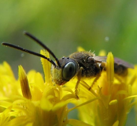 tiny bee - Pseudopanurgus compositarum - male