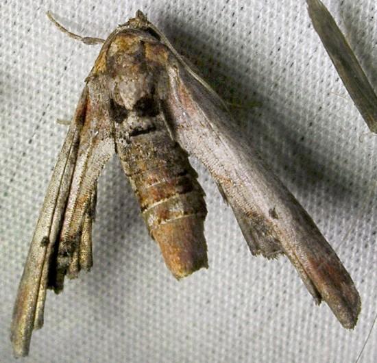 moth - Marathyssa inficita