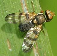 Snipe Fly6 - Urophora
