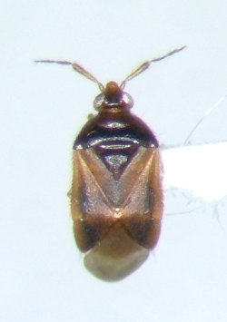 Cardiastethus assimilis