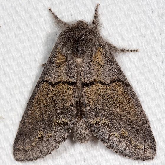 Hodges#7934 - Gluphisia lintneri