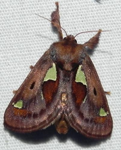 Euclea delphinii  - Euclea delphinii
