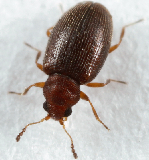tiny beetle - Cortinicara gibbosa
