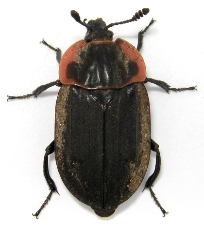 Margined Carrion Beetle - Oiceoptoma noveboracense