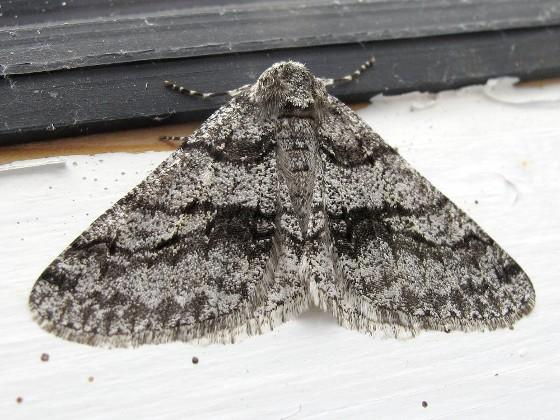 Moth - Phigalia titea