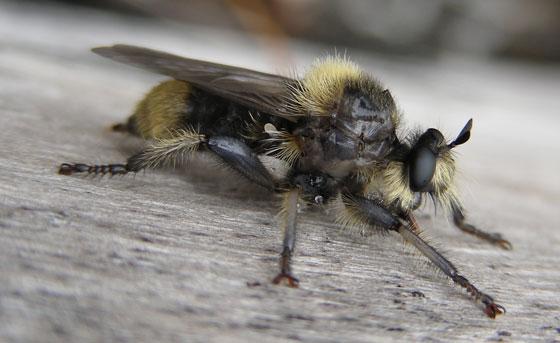 Laphria Robber Fly? - Laphria columbica - female