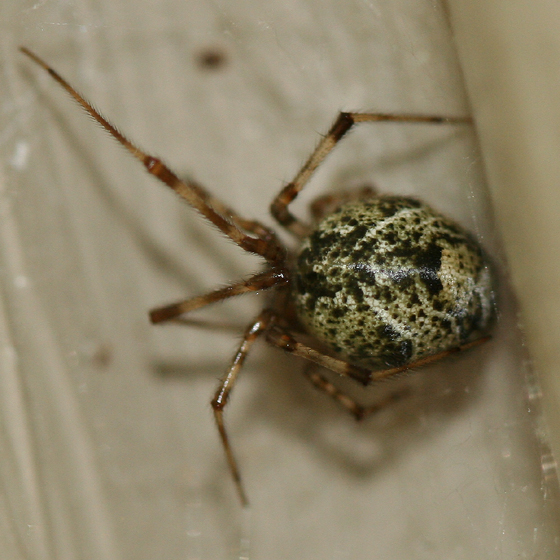 Common house spider Unlike