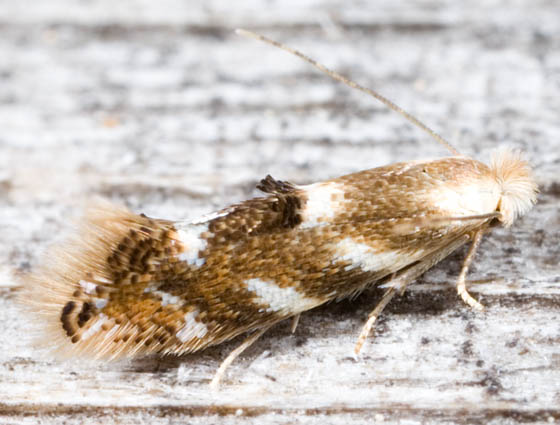Leafhopper? - Bucculatrix canadensisella
