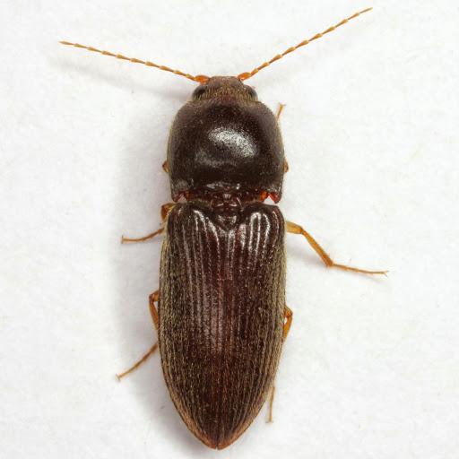 Horistonotus simplex LeConte - Horistonotus simplex