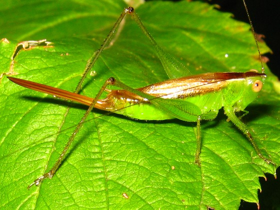 Short-winged Meadow Katydid - Conocephalus brevipennis - female