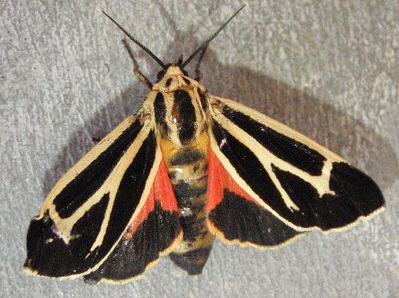 Apantesis Tiger Moth - Apantesis nais