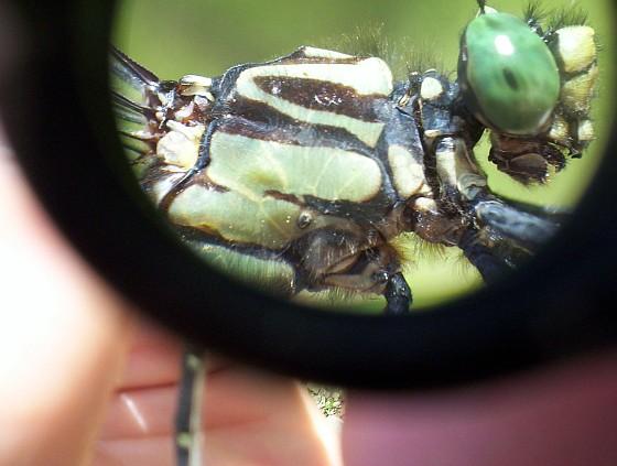 Splendid Clubtail - Gomphurus lineatifrons - male