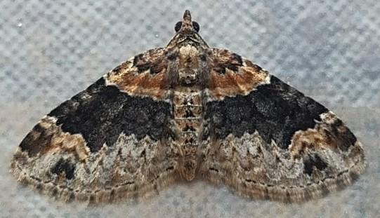 Xanthorhoe ferrugata (Red Twin-Spot) - Xanthorhoe ferrugata