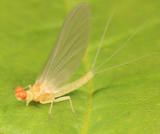 teneral mayfly - Ephemerella dorothea - male