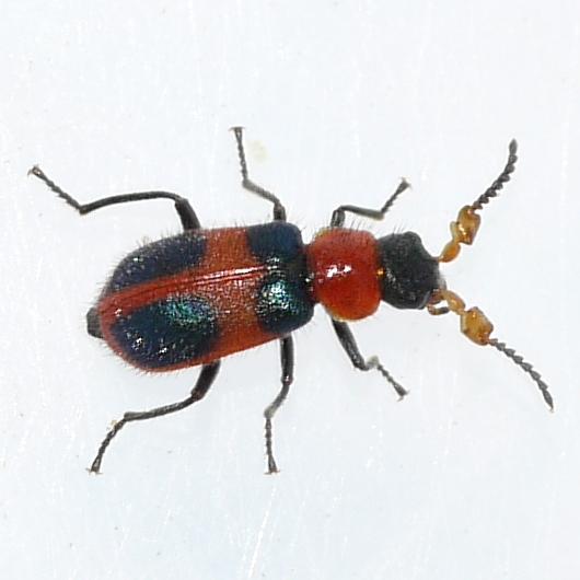 Soft-winged Flower Beetle - Collops quadrimaculatus - male