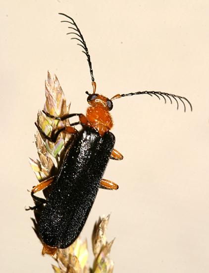 Dendroides or Neopyrochroa? - Neopyrochroa femoralis - male