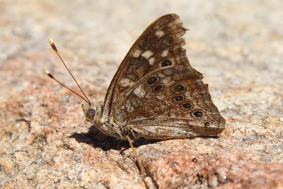 Butterfly ID? - Asterocampa leilia