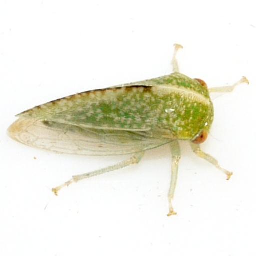 Treehopper - Cyrtolobus dixianus